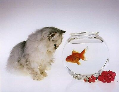 KITTEN & GOLDFISH: Cute 10x8 In. Photo-Print
