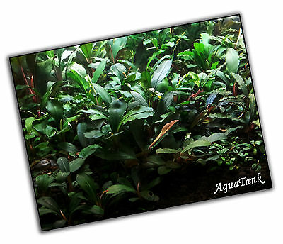 Bucephalandra species - Live Aquatic Aquarium Terrarium Plants SUPER RARE