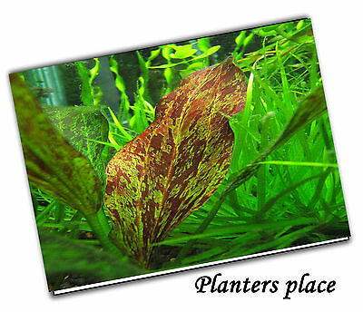 Echinodorus Paul Kloecker- Live Aquatic Aquarium Fish Tank Plants