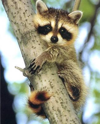 Baby Raccoon in a Tree: Cute 8x10 In. Print
