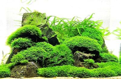 Moss on Mesh - Live Aquatic Aquarium Plants EASY and BEST VARIETY , Aquascaping