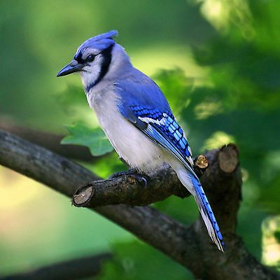 Blue Jay 8X10 Glossy Photo Picture