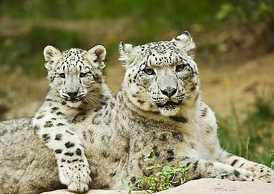 Snow Leopard With Cub 8X10 Glossy Photo Picture Image #9