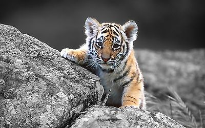 Tiger - Baby Tiger 8X10 Glossy Photo Picture Image #10