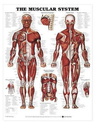 Muscular System Chart - Muscle Charts/Models Anatomical