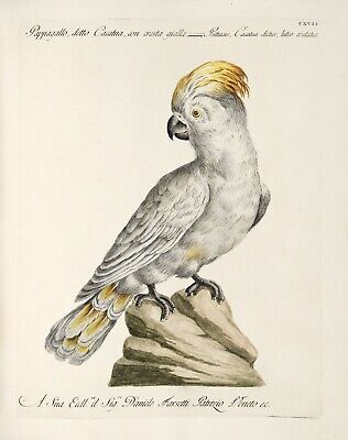 "Saverio Manetti : ""Yellow-Crested Cockatoo"" (1767-76) — Giclee Fine Art Print"