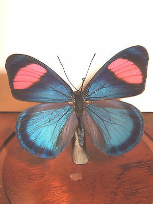Painted Beauty Butterfly Dome