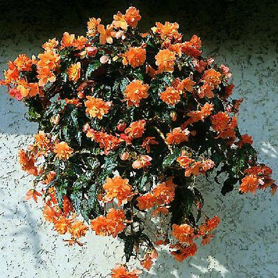 Begonia Seeds Trailing Cascade Beauty Mango 15 Pelleted Seeds