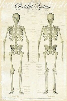 "SKELETAL SYSTEM POSTER ""LARGE"" 61cm X 91.5cm ""BRAND NEW"" ANATOMY EDUCATIONAL"