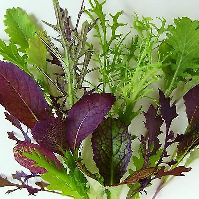 MESCLUN - MUSTARD MEGA-MIX - 4000 Seeds [..a mouthtrembling mix of salad leaves]