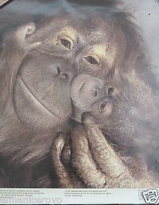 Poster Orang Utang Cm 42 X 46 A Cura Del World Wildlife Fund Roma - Anni 70
