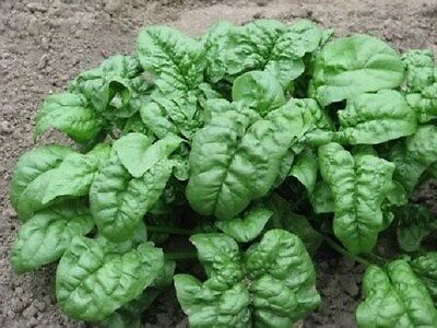 1,000 Spinach Seeds Giant Noble Seeds 46 days
