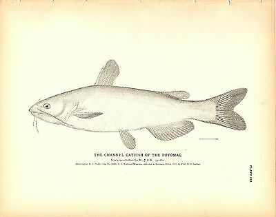 Rare 1884 Antique Fish Print ~ The Channel Catfish ~