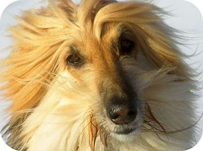 Afghan Hound Picture Mouse Mat