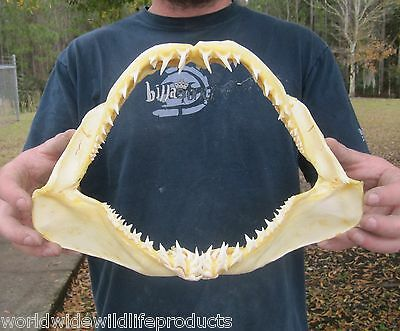 12 inch Mako Shark jaw shark teeth taxidermy real sharks jaw # 12932