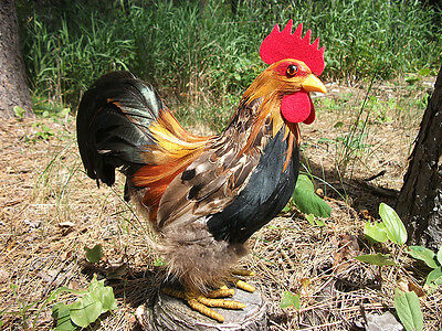 Realistic ROOSTER CHICKEN Feather Taxidermy Replica Prop 14t FREE SHIPPING USA