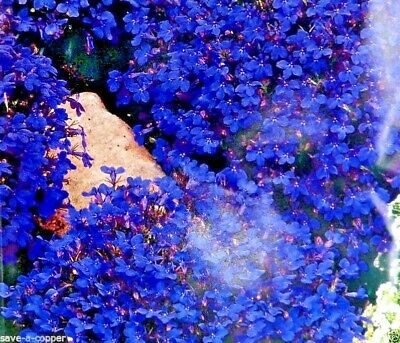 Lobelia - Crystal Palace - 6000 High Quality Flower Seeds