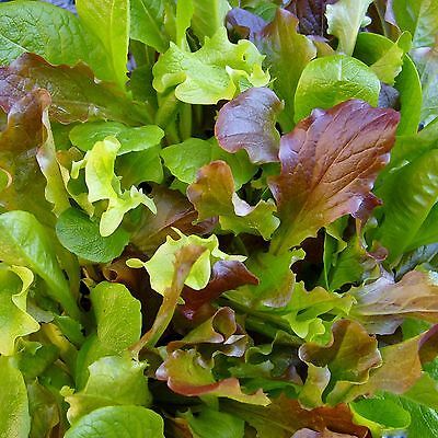 MESCLUN - HONEYMOON MIX - multiples of 10,000 seeds custom packed to order