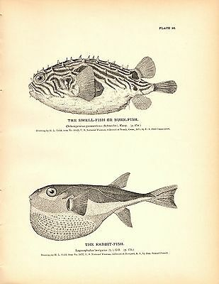 Rare 1884 Antique Fish Print ~ The Weird or Odd #2~ Collection Lot of 3 prints