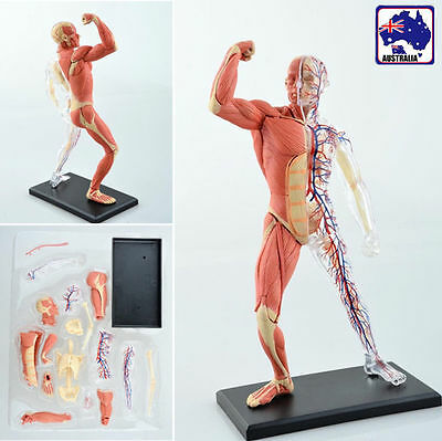 4D Vision Human Muscle Skeleton Anatomy Model Puzzle Detailed 46 Piece GSKEL4001