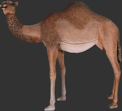 Dromedary Camel - Female