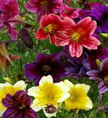 Painted Tongue Seeds 500 Flower Seeds (Salpiglossis) Flower Seeds
