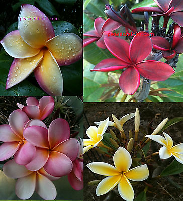 Plumeria Combo 8-12 Inch Cuts 4 Beautiful Plants Some Two Tips