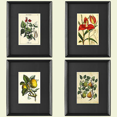 Collection of 4 Vintage Botanical Print horticultural Victorian art sketches