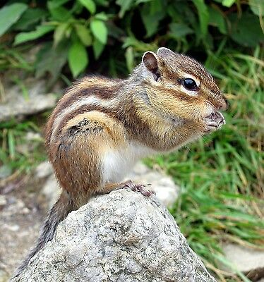 Chipmunk Eating 8X10 Glossy Photo Picture Image #3