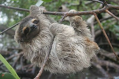 Sloth 8X10 Glossy Photo Picture Image #2