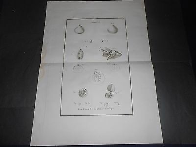 1797 Copper Engraving Zoological Shells,Clams,Poulettes Atlas De La Perouse