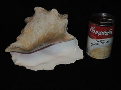 "Natural Large Queen Conch Shell 7-1/2"" Long - Great Condition"