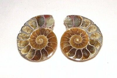 Fossil Sliced and polished Ammonite Madagascar split pair Dinosaur era 34mm