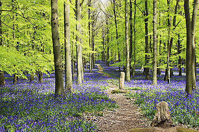 Bluebells Trees Forest Woods WALL ART CANVAS FRAMED OR POSTER PRINT