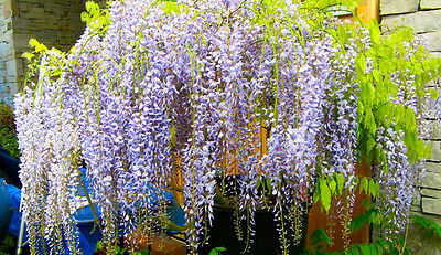 Wisteria   in variety supplied in1L pots