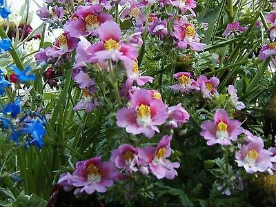 Butterfly Flower (Schizanthus x Wisetonensis Angel Wings) - Mixed- 100 Seeds