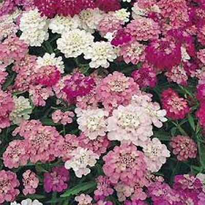 Candytuft (Iberis Umbellata)- Mixed colors- 500 Seeds