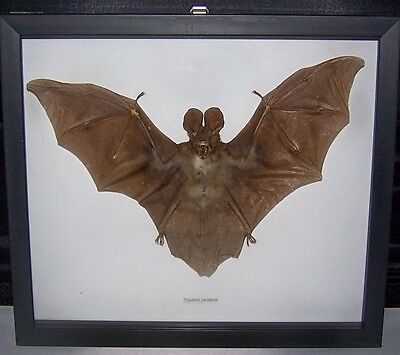 Real Dried Bat Taxidermy Nycteris Javanica In Shadowbx Frame Javan Split-Face