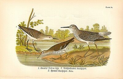 Rare 1890 Antique Audubon Bird Print ~ Yellow-legs & Sandpiper ~ Striking!