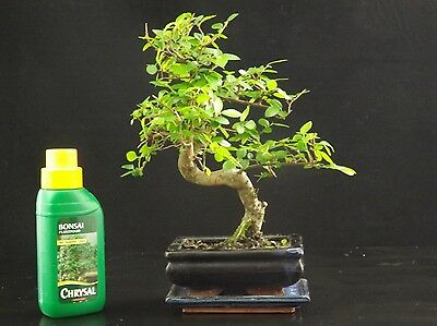 Chinese Elm S Trunk Bonsai Tree 25-30cm tall with ceramic drip tray+ free feed