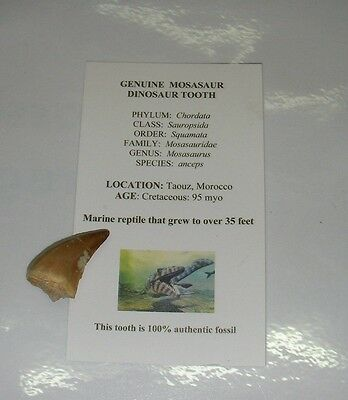 "Mosasaur teeth tooth fossil Dinosaur Marine Jurassic World 1"" -25mm"