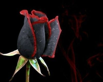 25-50-100-200 True Blood Black & Red Rose Flower Seeds - Buy Any 3 Get 1 FREE!!