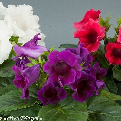 Gloxinia Multibells 20 Seeds Highest Yeild Of Blooms Then Any Other Gloxinia