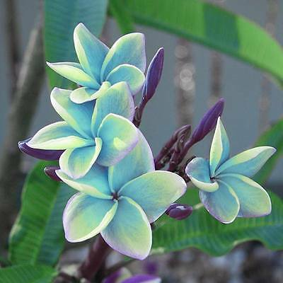 """""""sorntalea"""" Fragrant Plumeria Cutting Have Rooted 7-12"""" With Certification"""