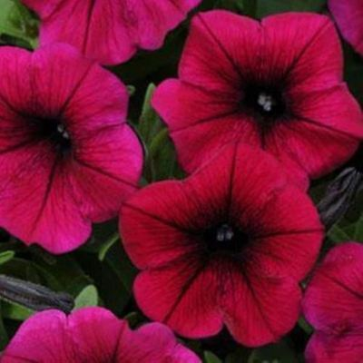 Shock Wave F1 Petunia 20 Seed Per Package Stunning Colors & Many Beautiful Mixes