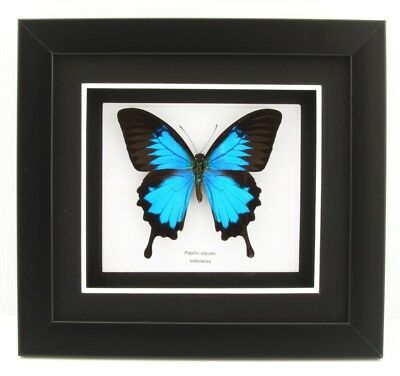 Papilio ulysses Blue Mountain Swallowtail Taxidermy Butterfly in Matted Frame