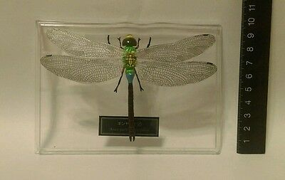 Deagostini (not Kaiyodo M) 1:1 Lesser Emperor Dragonfly Bug Insect Figure