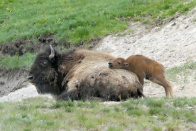 Buffalo With Baby Bison 8X10 Glossy Photo Picture Image #2