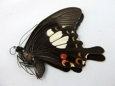 Papilio hystaspes FOLDED Butterfly Taxidermy REAL
