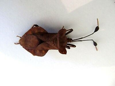 Hemiptera sp. Long Leaf Antenna Taxidermy REAL Insect